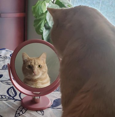 cat stares at mirror