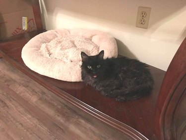 Silly cat sits next to cat bed