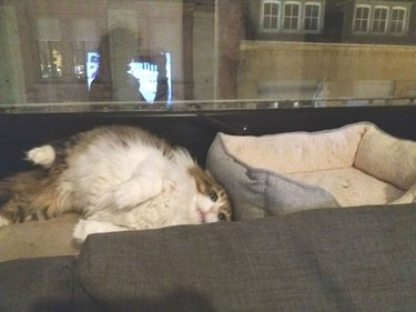 Derpy cat can't figure out how to cat bed