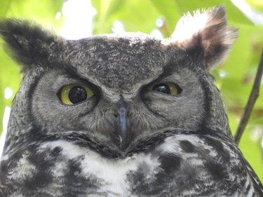 Glaring Owl