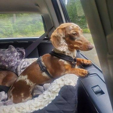 dachshund in car seat