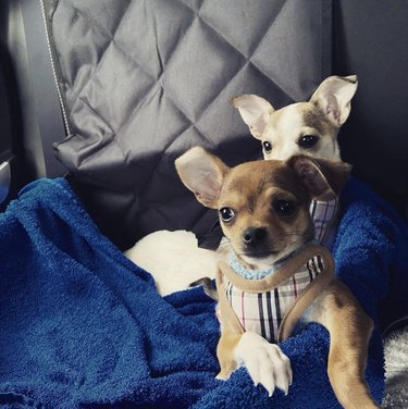 two dogs in same car seat