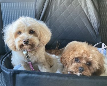two pups in car seat