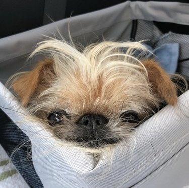 little dog in car seat