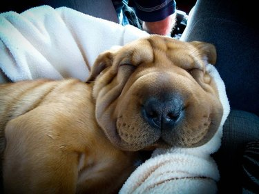 Dog with very squishy, wrinkly face.