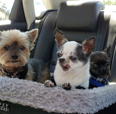 three dogs in one car seat