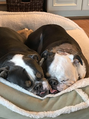 Two dogs with squishy faces sleeping pressed against one another.