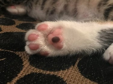 Cat's paw with a black spot on one toe pad