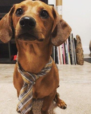 Cute dog in a nice tie