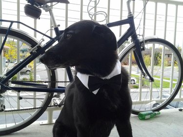 Dog with a black bow tie and a bike and he looks like some kind of barista
