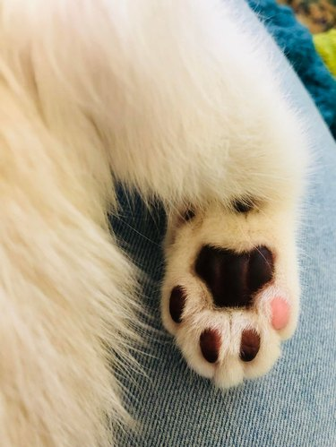 Underside of cat's paw with all black toe pads and one pink toe pad