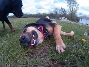 Happy dog with bowtie
