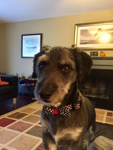 Dog in a nice bowtie with a strangely human look on his face