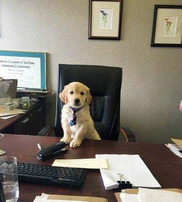 puppy in tie