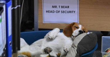 guard dog falls asleep on job