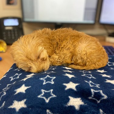 puppy falls asleep in office