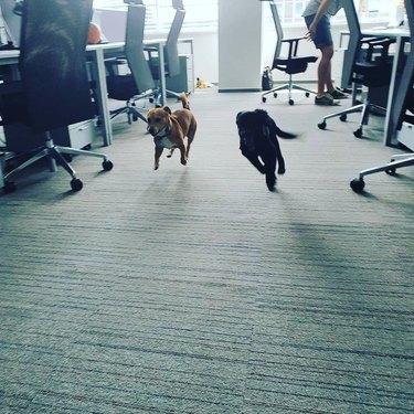 dogs run in office