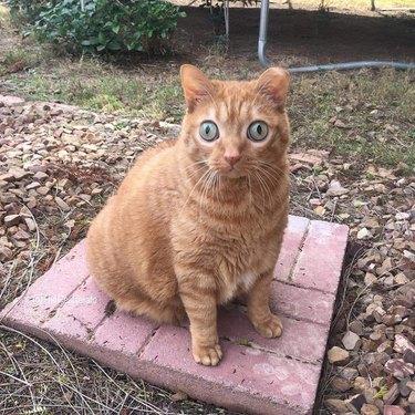 Orange cat has HUGE green eyes