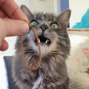 Cat delighted by sight of elastic band