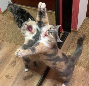 Cat reacts dramatically to its image in mirror