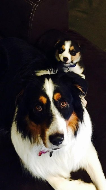 21 dogs with gold star eyebrows
