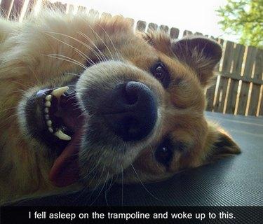 Dog lying on trampoline.