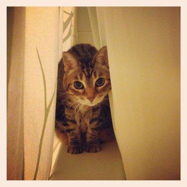 Cat hiding between curtains