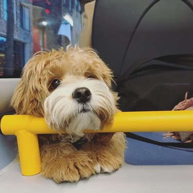 dog rests head on handrail on bus