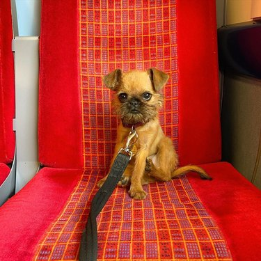 small dog sits on seat on train