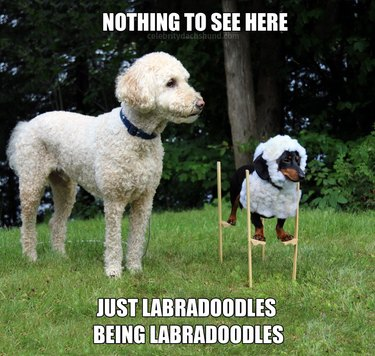 Dachshund on stilts with fluffy wig standing next to Labradoodle