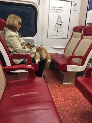 sleepy dog sleeps on owners lap on train