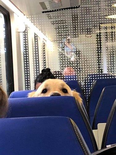 dog peers over seat on train