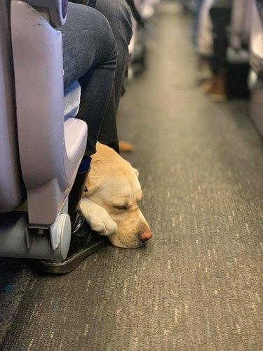 sleepy dog on train
