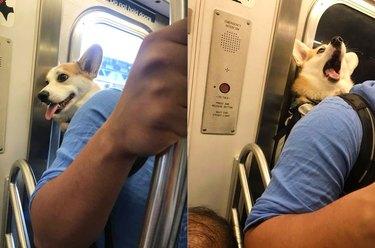 corgi in backpack on train