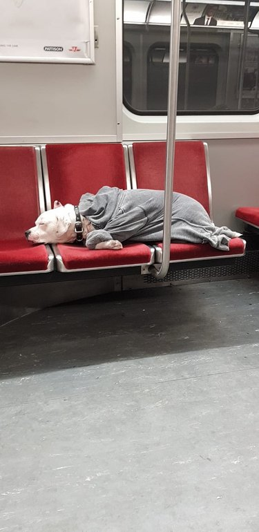 sleepy dog sleeps on train