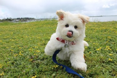 Puppy in midair with tongue out