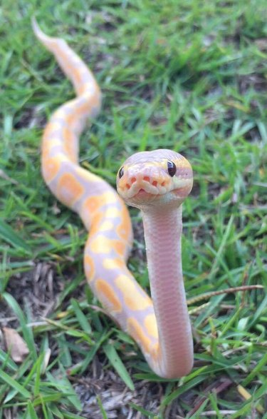 ball python in the grass