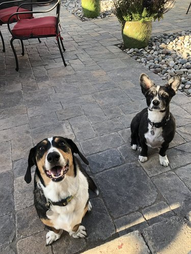 Cute dogs looking at camera
