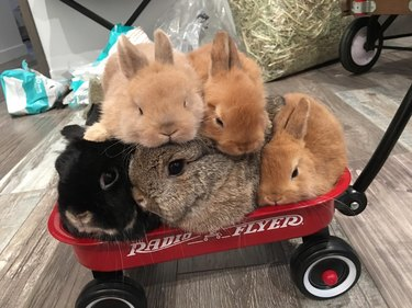 Five rabbits piled into a small radio flyer wagon.