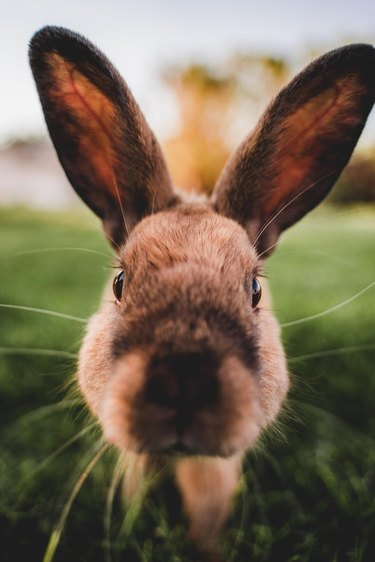 Rabbit looking directly into camera.