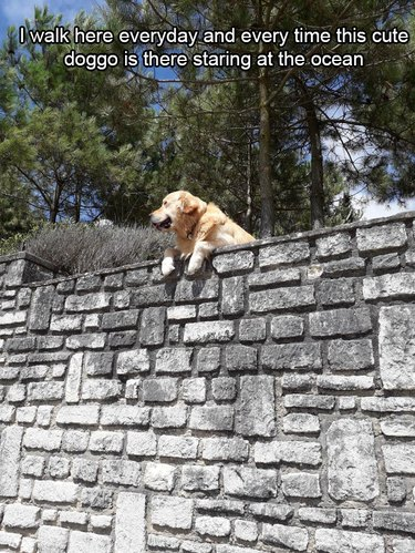 Dog looking over stone wall