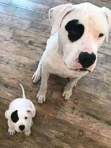 Dog and puppy with matching black spots over left eye