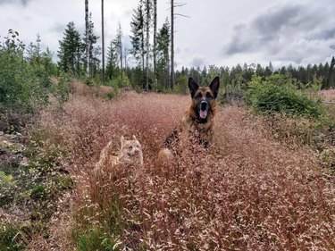 Two dogs in tall grass, one almost completely hidden