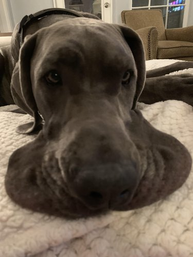 Great Dane with floppy flews
