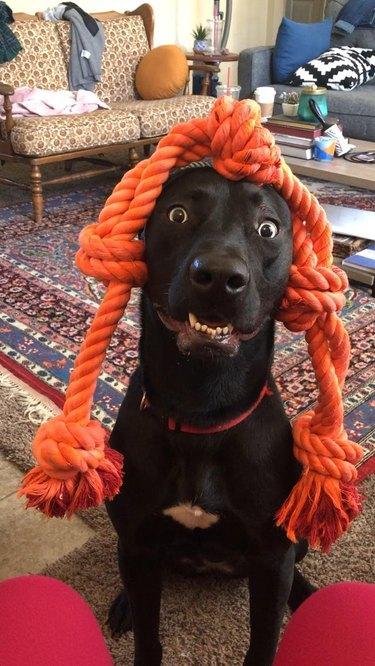 Dog wearing orange rope toy on its head like braids