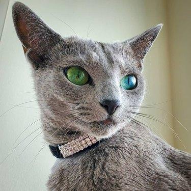 Cat wearing a diamond color