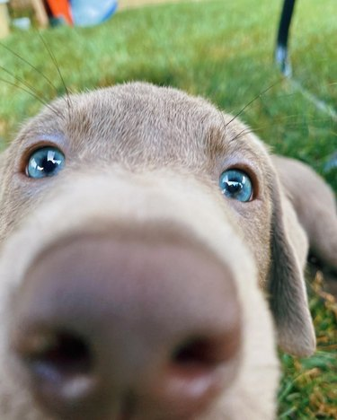 Puppy with nose close to camera
