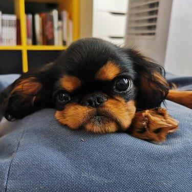 English Toy Spaniel puppy