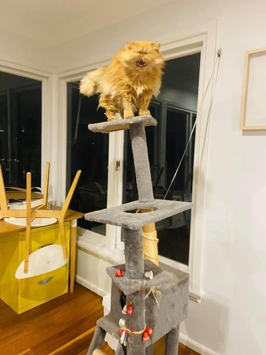screaming cat on cat tower