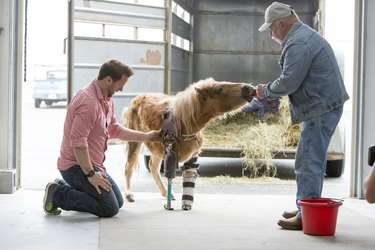 pony is fitted for a plastic prosthetic limb